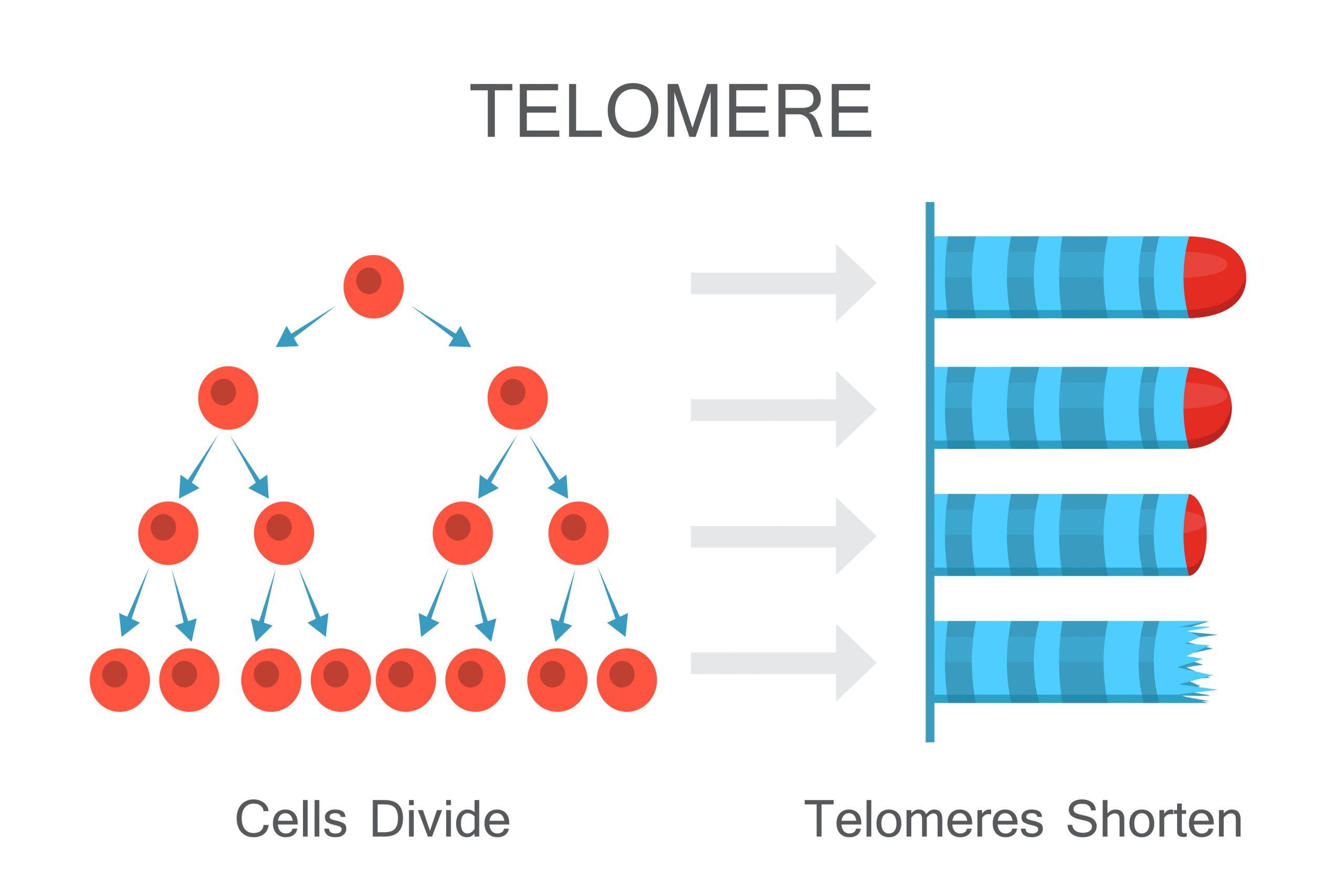 Cells divide - telomeres shorten. Vector illustration design